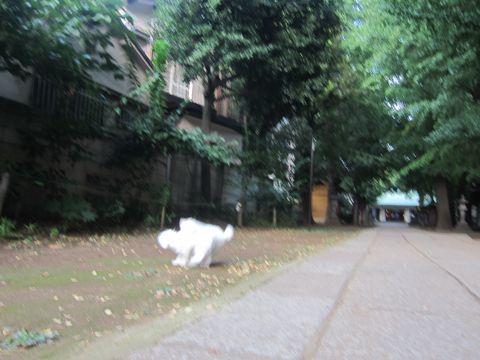 ビションフリーゼこいぬ子犬フントヒュッテ東京かわいいビションフリーゼ関東ビション文京区ビションフリーゼ画像ビションフリーゼおんなのこ姉妹メス子犬_545.jpg