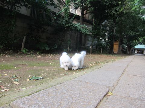 ビションフリーゼこいぬ子犬フントヒュッテ東京かわいいビションフリーゼ関東ビション文京区ビションフリーゼ画像ビションフリーゼおんなのこ姉妹メス子犬_546.jpg