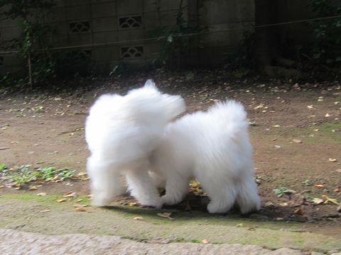 ビションフリーゼこいぬ子犬フントヒュッテ東京かわいいビションフリーゼ関東ビション文京区ビションフリーゼ画像ビションフリーゼおんなのこ姉妹メス子犬_551.jpg