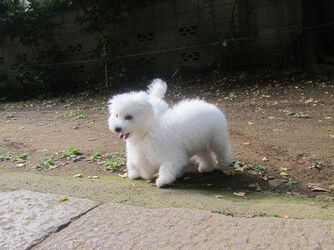 ビションフリーゼこいぬ子犬フントヒュッテ東京かわいいビションフリーゼ関東ビション文京区ビションフリーゼ画像ビションフリーゼおんなのこ姉妹メス子犬_552.jpg
