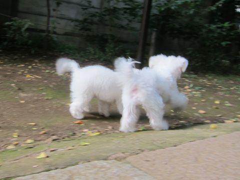 ビションフリーゼこいぬ子犬フントヒュッテ東京かわいいビションフリーゼ関東ビション文京区ビションフリーゼ画像ビションフリーゼおんなのこ姉妹メス子犬_553.jpg
