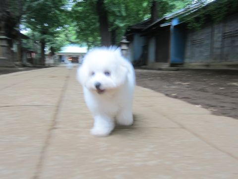 ビションフリーゼこいぬ子犬フントヒュッテ東京かわいいビションフリーゼ関東ビション文京区ビションフリーゼ画像ビションフリーゼ子犬東京ビション毛量 224.jpg