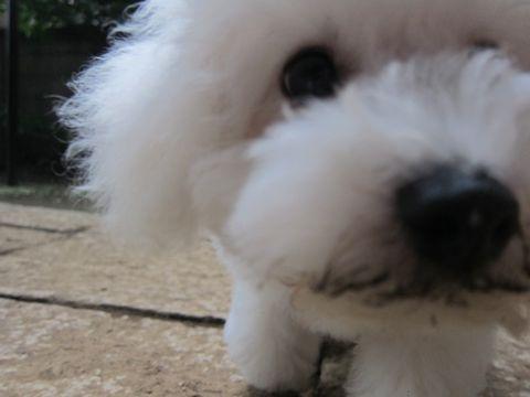 ビションフリーゼこいぬ子犬フントヒュッテ東京かわいいビションフリーゼ関東ビション文京区ビションフリーゼ画像ビションフリーゼ子犬東京ビション毛量 225.jpg