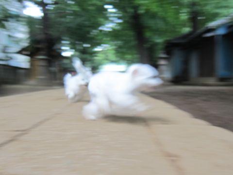 ビションフリーゼこいぬ子犬フントヒュッテ東京かわいいビションフリーゼ関東ビション文京区ビションフリーゼ画像ビションフリーゼおんなのこ姉妹メス子犬_560.jpg