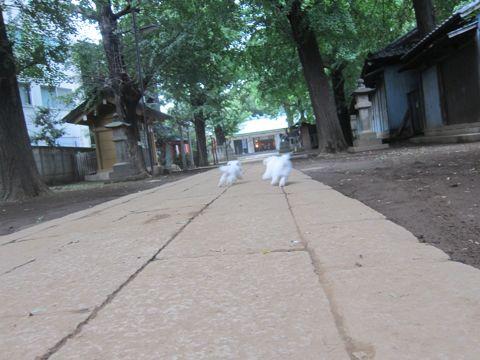 ビションフリーゼこいぬ子犬フントヒュッテ東京かわいいビションフリーゼ関東ビション文京区ビションフリーゼ画像ビションフリーゼおんなのこ姉妹メス子犬_561.jpg