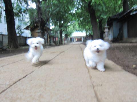 ビションフリーゼこいぬ子犬フントヒュッテ東京かわいいビションフリーゼ関東ビション文京区ビションフリーゼ画像ビションフリーゼおんなのこ姉妹メス子犬_562.jpg