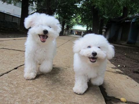 ビションフリーゼこいぬ子犬フントヒュッテ東京かわいいビションフリーゼ関東ビション文京区ビションフリーゼ画像ビションフリーゼおんなのこ姉妹メス子犬_563.jpg