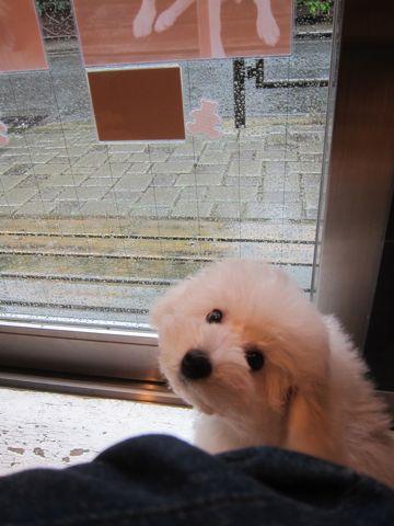 ビションフリーゼこいぬ子犬フントヒュッテ東京かわいいビションフリーゼ関東ビション文京区ビションフリーゼ画像ビションフリーゼ子犬東京ビション毛量 244.jpg