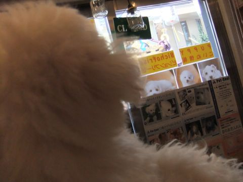 ビションフリーゼこいぬ子犬フントヒュッテ東京かわいいビションフリーゼ関東ビション文京区ビションフリーゼ画像ビションフリーゼ子犬東京ビション毛量 245.jpg