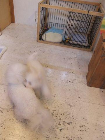 ビションフリーゼこいぬ子犬フントヒュッテ東京かわいいビションフリーゼ関東ビション文京区ビションフリーゼ画像ビションフリーゼおんなのこ姉妹メス子犬_568.jpg