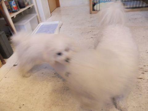 ビションフリーゼこいぬ子犬フントヒュッテ東京かわいいビションフリーゼ関東ビション文京区ビションフリーゼ画像ビションフリーゼおんなのこ姉妹メス子犬_570.jpg
