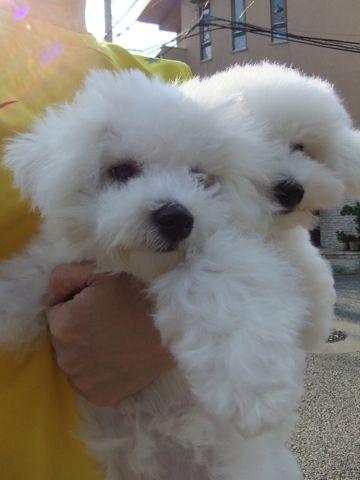 ビションフリーゼこいぬ子犬フントヒュッテ東京かわいいビションフリーゼ関東ビション文京区ビションフリーゼ画像ビションフリーゼおんなのこ姉妹メス子犬_577.jpg