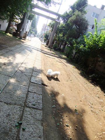 ビションフリーゼこいぬ子犬フントヒュッテ東京かわいいビションフリーゼ関東ビション文京区ビションフリーゼ画像ビションフリーゼおんなのこ姉妹メス子犬_578.jpg