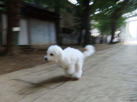ビションフリーゼこいぬ子犬フントヒュッテ東京かわいいビションフリーゼ関東ビション文京区ビションフリーゼ画像ビションフリーゼおんなのこ姉妹メス子犬_580.jpg