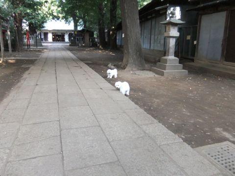 ビションフリーゼこいぬ子犬フントヒュッテ東京かわいいビションフリーゼ関東ビション文京区ビションフリーゼ画像ビションフリーゼおんなのこ姉妹メス子犬_581.jpg