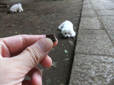 ビションフリーゼこいぬ子犬フントヒュッテ東京かわいいビションフリーゼ関東ビション文京区ビションフリーゼ画像ビションフリーゼおんなのこ姉妹メス子犬_582.jpg