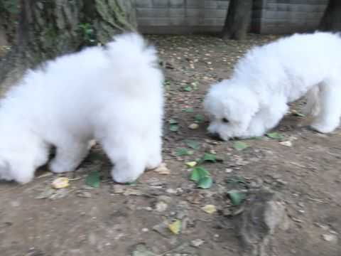 ビションフリーゼこいぬ子犬フントヒュッテ東京かわいいビションフリーゼ関東ビション文京区ビションフリーゼ画像ビションフリーゼおんなのこ姉妹メス子犬_586.jpg