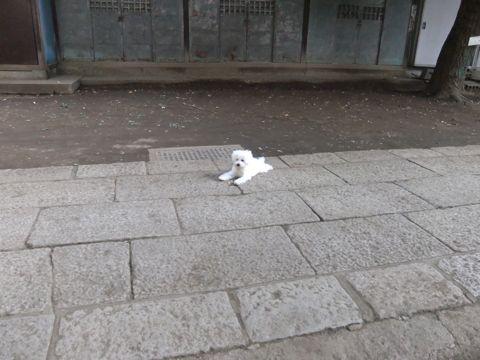 ビションフリーゼこいぬ子犬フントヒュッテ東京かわいいビションフリーゼ関東ビション文京区ビションフリーゼ画像ビションフリーゼおんなのこ姉妹メス子犬_587.jpg