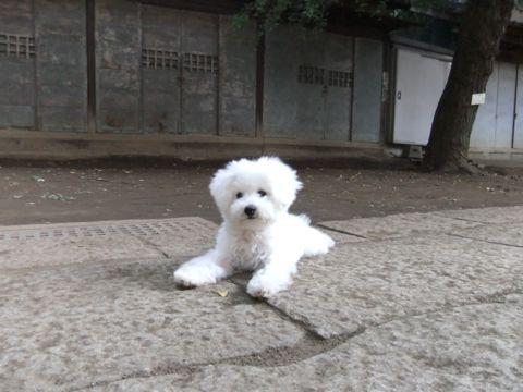 ビションフリーゼこいぬ子犬フントヒュッテ東京かわいいビションフリーゼ関東ビション文京区ビションフリーゼ画像ビションフリーゼおんなのこ姉妹メス子犬_588.jpg