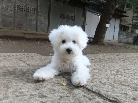 ビションフリーゼこいぬ子犬フントヒュッテ東京かわいいビションフリーゼ関東ビション文京区ビションフリーゼ画像ビションフリーゼおんなのこ姉妹メス子犬_589.jpg
