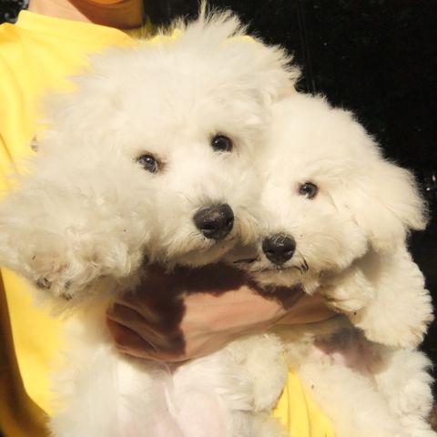 ビションフリーゼこいぬ子犬フントヒュッテ東京かわいいビションフリーゼ関東ビション文京区ビションフリーゼ画像ビションフリーゼおんなのこ姉妹メス子犬_591.jpg