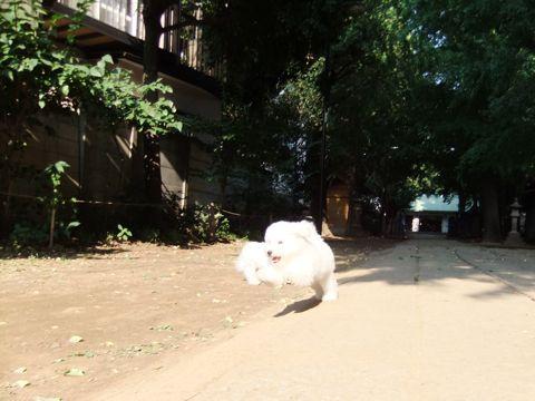 ビションフリーゼこいぬ子犬フントヒュッテ東京かわいいビションフリーゼ関東ビション文京区ビションフリーゼ画像ビションフリーゼ子犬東京ビション毛量 258.jpg