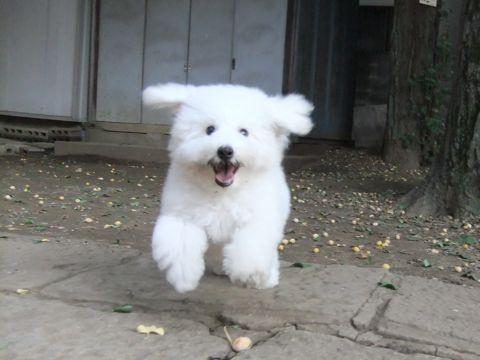 ビションフリーゼこいぬ子犬フントヒュッテ東京かわいいビションフリーゼ関東ビション文京区ビションフリーゼ画像ビションフリーゼ子犬東京ビション毛量 264.jpg
