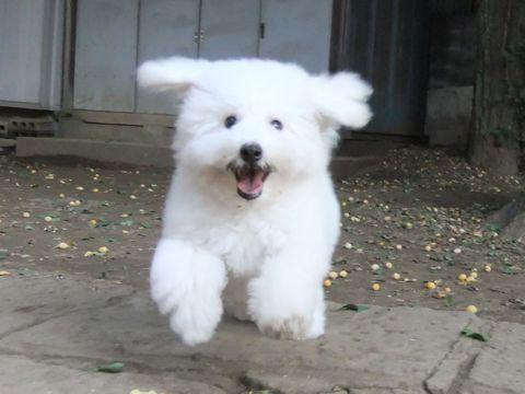 ビションフリーゼこいぬ子犬フントヒュッテ東京かわいいビションフリーゼ関東ビション文京区ビションフリーゼ画像ビションフリーゼ子犬東京ビション毛量 264_2.jpg