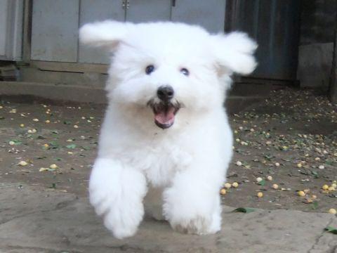 ビションフリーゼこいぬ子犬フントヒュッテ東京かわいいビションフリーゼ関東ビション文京区ビションフリーゼ画像ビションフリーゼ子犬東京ビション毛量 264_3.jpg