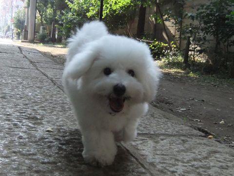ビションフリーゼこいぬ子犬フントヒュッテ東京かわいいビションフリーゼ関東ビション文京区ビションフリーゼ画像ビションフリーゼ子犬東京ビション毛量 266_3.jpg