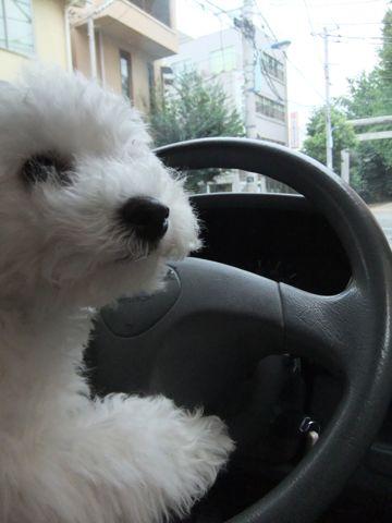 ビションフリーゼこいぬ子犬フントヒュッテ東京かわいいビションフリーゼ関東ビション文京区ビションフリーゼ画像ビションフリーゼおんなのこ姉妹メス子犬_592.jpg