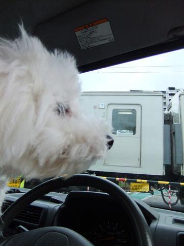 ビションフリーゼこいぬ子犬フントヒュッテ東京かわいいビションフリーゼ関東ビション文京区ビションフリーゼ画像ビションフリーゼおんなのこ姉妹メス子犬_593.jpg