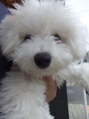 ビションフリーゼこいぬ子犬フントヒュッテ東京かわいいビションフリーゼ関東ビション文京区ビションフリーゼ画像ビションフリーゼおんなのこ姉妹メス子犬_594.jpg