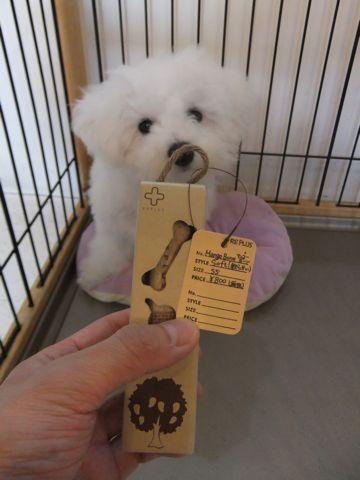 ビションフリーゼこいぬ子犬フントヒュッテ東京かわいいビションフリーゼ関東ビション文京区ビションフリーゼ画像ビションフリーゼおんなのこ姉妹メス子犬_596.jpg