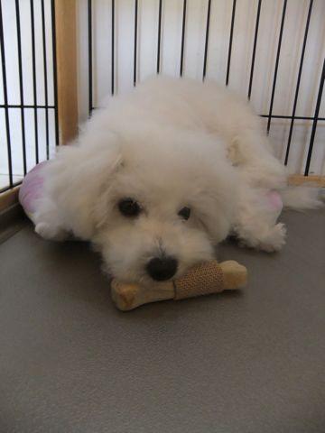 ビションフリーゼこいぬ子犬フントヒュッテ東京かわいいビションフリーゼ関東ビション文京区ビションフリーゼ画像ビションフリーゼおんなのこ姉妹メス子犬_598.jpg