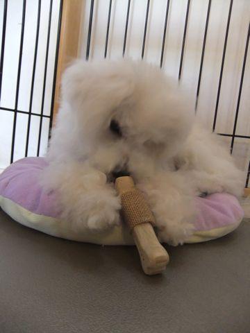 ビションフリーゼこいぬ子犬フントヒュッテ東京かわいいビションフリーゼ関東ビション文京区ビションフリーゼ画像ビションフリーゼおんなのこ姉妹メス子犬_600.jpg