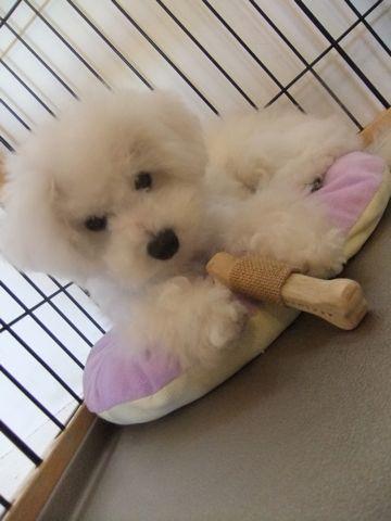 ビションフリーゼこいぬ子犬フントヒュッテ東京かわいいビションフリーゼ関東ビション文京区ビションフリーゼ画像ビションフリーゼおんなのこ姉妹メス子犬_601.jpg