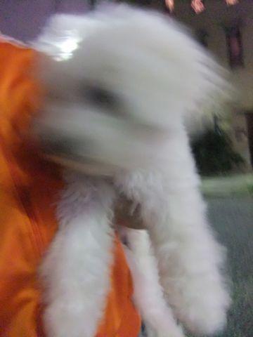 ビションフリーゼこいぬ子犬フントヒュッテ東京かわいいビションフリーゼ関東ビション文京区ビションフリーゼ画像ビションフリーゼおんなのこ姉妹メス子犬_603.jpg