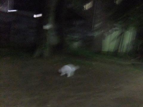 ビションフリーゼこいぬ子犬フントヒュッテ東京かわいいビションフリーゼ関東ビション文京区ビションフリーゼ画像ビションフリーゼおんなのこ姉妹メス子犬_604.jpg