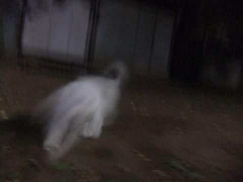 ビションフリーゼこいぬ子犬フントヒュッテ東京かわいいビションフリーゼ関東ビション文京区ビションフリーゼ画像ビションフリーゼおんなのこ姉妹メス子犬_607.jpg