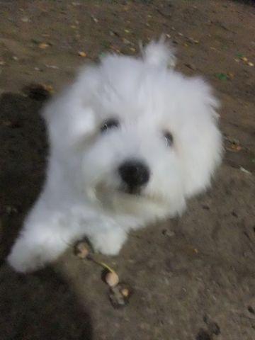 ビションフリーゼこいぬ子犬フントヒュッテ東京かわいいビションフリーゼ関東ビション文京区ビションフリーゼ画像ビションフリーゼおんなのこ姉妹メス子犬_608.jpg