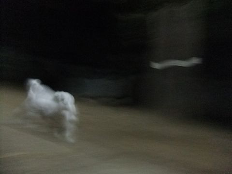 ビションフリーゼこいぬ子犬フントヒュッテ東京かわいいビションフリーゼ関東ビション文京区ビションフリーゼ画像ビションフリーゼおんなのこ姉妹メス子犬_614.jpg