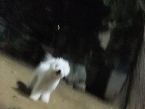 ビションフリーゼこいぬ子犬フントヒュッテ東京かわいいビションフリーゼ関東ビション文京区ビションフリーゼ画像ビションフリーゼおんなのこ姉妹メス子犬_615.jpg