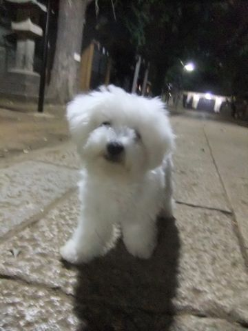ビションフリーゼこいぬ子犬フントヒュッテ東京かわいいビションフリーゼ関東ビション文京区ビションフリーゼ画像ビションフリーゼおんなのこ姉妹メス子犬_618.jpg