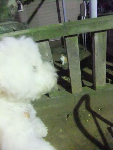 ビションフリーゼこいぬ子犬フントヒュッテ東京かわいいビションフリーゼ関東ビション文京区ビションフリーゼ画像ビションフリーゼおんなのこ姉妹メス子犬_620.jpg