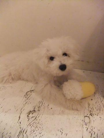 ビションフリーゼこいぬ子犬フントヒュッテ東京かわいいビションフリーゼ関東ビション文京区ビションフリーゼ画像ビションフリーゼおんなのこ姉妹メス子犬_623.jpg