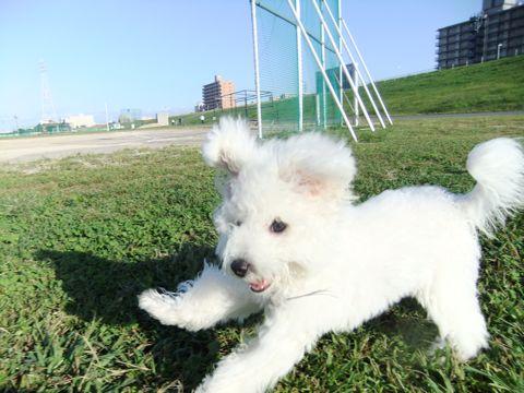 ビションフリーゼこいぬ子犬フントヒュッテ東京かわいいビションフリーゼ関東ビション文京区ビションフリーゼ画像ビションフリーゼおんなのこ姉妹メス子犬_627.jpg