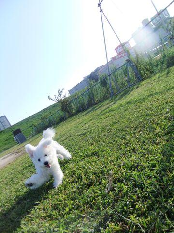 ビションフリーゼこいぬ子犬フントヒュッテ東京かわいいビションフリーゼ関東ビション文京区ビションフリーゼ画像ビションフリーゼおんなのこ姉妹メス子犬_628.jpg