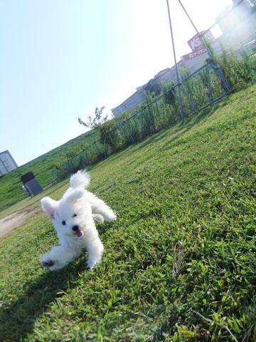 ビションフリーゼこいぬ子犬フントヒュッテ東京かわいいビションフリーゼ関東ビション文京区ビションフリーゼ画像ビションフリーゼおんなのこ姉妹メス子犬_629.jpg