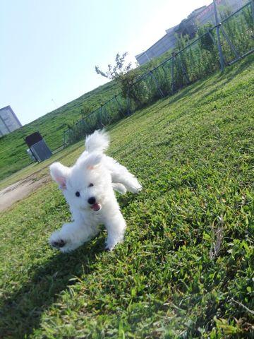 ビションフリーゼこいぬ子犬フントヒュッテ東京かわいいビションフリーゼ関東ビション文京区ビションフリーゼ画像ビションフリーゼおんなのこ姉妹メス子犬_630.jpg